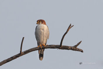 A Red Necked Falcon after finishing a catch - Free image #477713