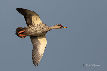 A Spotted Billed Duck in Flight taking a turn - image #477793 gratis