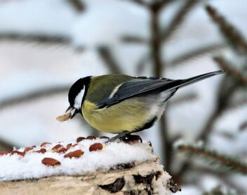 Great tit - Kostenloses image #477823