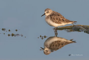 A Little Stint working for its breakfast the morning - image gratuit #478633