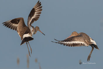 A Pair of Black Tailed Godwits Fighting - image gratuit #478743