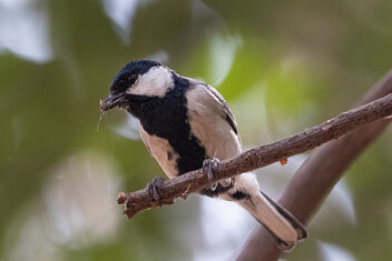 A Cinerous Tit with a Tree Spider Catch - image gratuit #478773