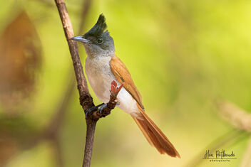 An Indian Paradise Flycatcher on a beautiful perch - image #479753 gratis