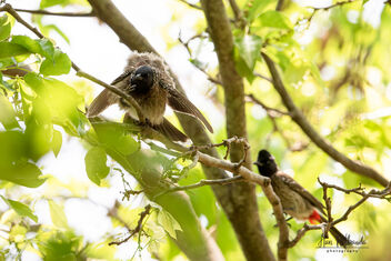 A Juvenile Red Vented Bulbul ready to fly for the first time - image #479823 gratis