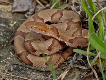 Eastern Copperhead (Agkistrodon contortrix) - image #479853 gratis