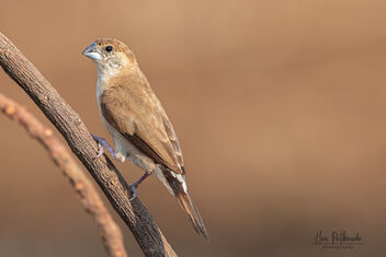 An Indian Silverbill near a paddy field - image #479873 gratis